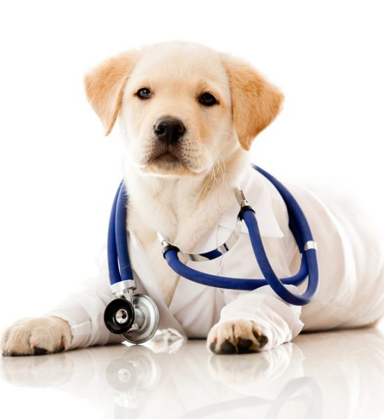 Little dog as a vet wearing robe and stethoscope - isolated over a white background